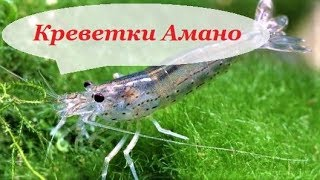 Креветки Амано в аквариуме. Содержание, уход, совместимость и чем кормить.