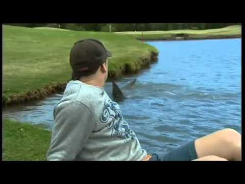 Download Killer Sharks Invade Golf Course In Oz