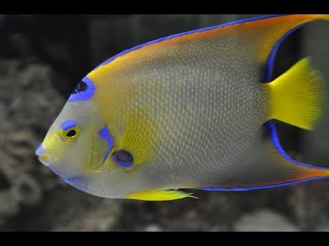 Facts: The Queen Angelfish