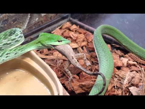 Asian Vine Snake ( warning )