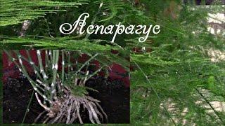 Аспарагус комнатное растение.  Красавец аспарагус!