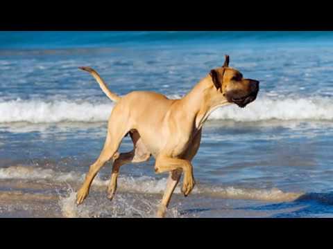 Great Dane - giant dog breed