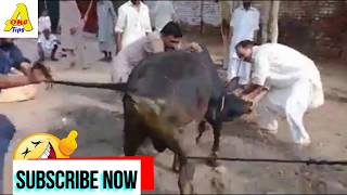 Funny Qurbani 2019 New Video Eid ul adha 2019