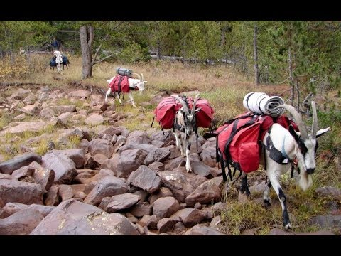 Using Pack Goats For Hunting (short Version)