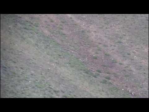 Snow Leopard hunts in Mongolia