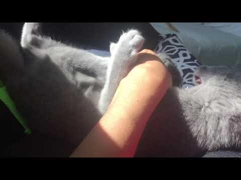 My Russian blue kitten - green eye grey cat/kitten playing in the morning