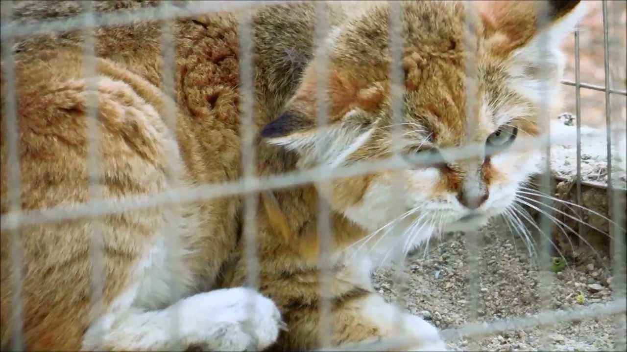 Wild Sand Cat Pet