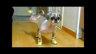 私が犬の靴を歩いていなければならない不快感はとても面白いです 私のチ...