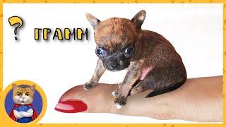 Самый маленький щенок в мире! Щенки Гаффи готовятся к взрослой жизни