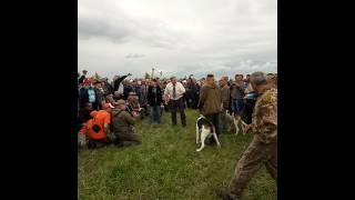 12 Всероссийская выставка охотничьих собак 2017 г.Тула