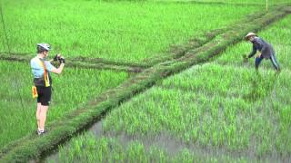 Rice farmers in paddy, Hoi An, Vietnam, 2015-02-04