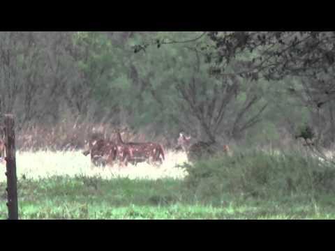 Axis  Deer Herd