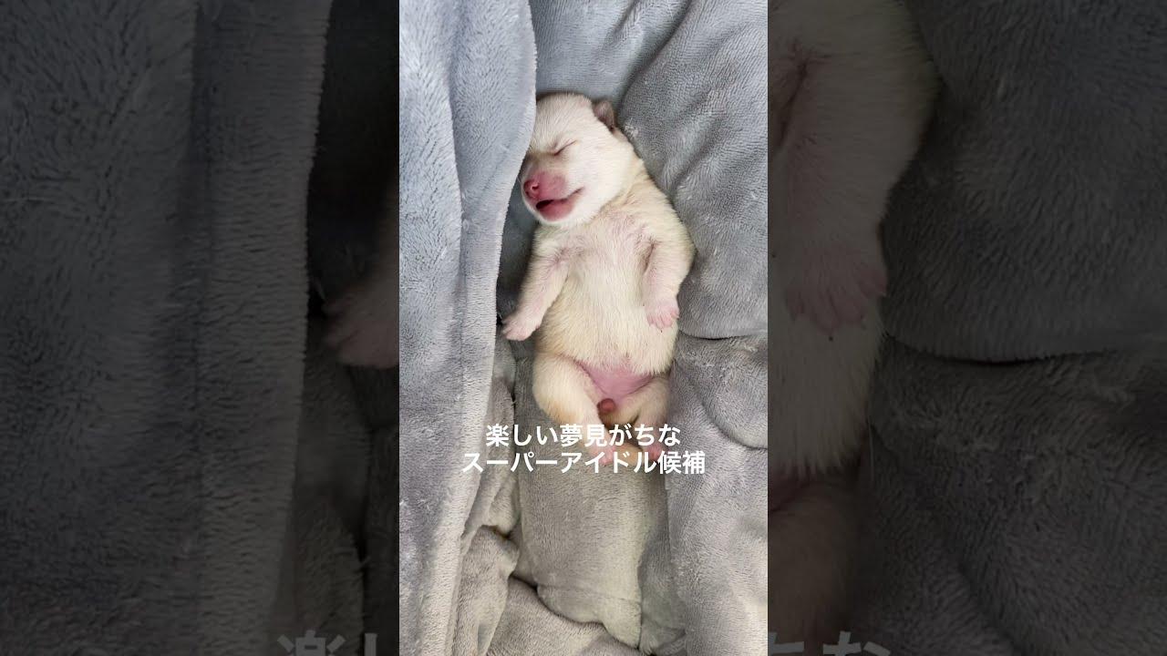 【4日目】甘えん坊アイドルの末っ子長女紹介~豆柴ママのヒナタ~ #Shorts