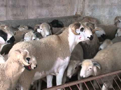 Marroquíes pueden comprar por internet corderos para Eid