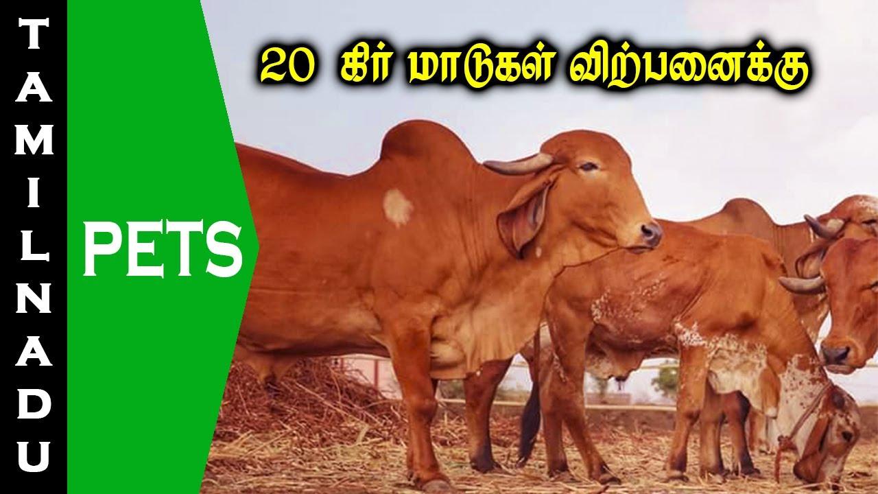 20 கிர் மாடுகள் விற்பனை || Gir cows for sale || Tamilnadu Pets || Tamil