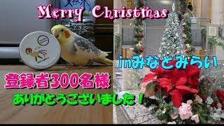 オカメ君、缶ちゃんをどうしたいのか?他オカメのアラカルト3本♥ 登録者300名様ありがとうのクリスマスツリー オカメインコ桃太郎 thumbnail