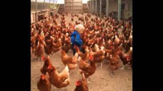 ALL HENS HAVE NOW BEEN RE HOMED THANKYOU!!  save from slaughter! laying chickens hens for sale