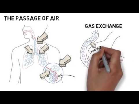 Access youtube gcse biology respiratory system ccuart Images