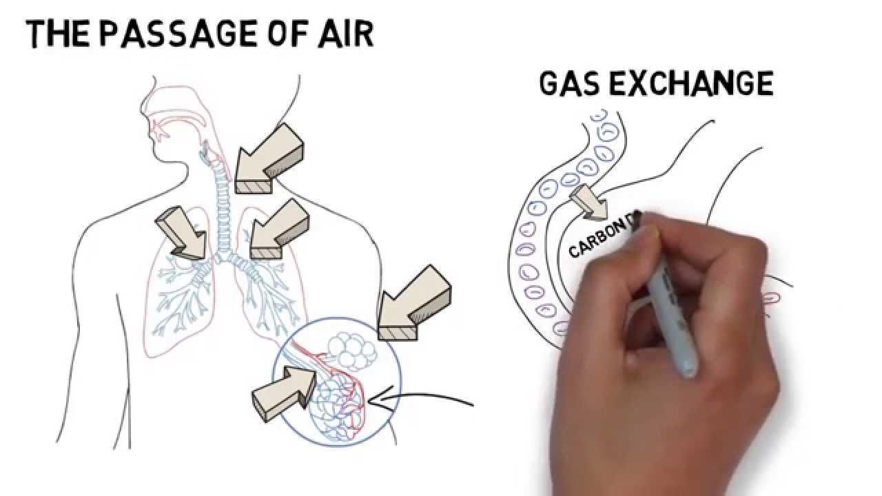 Gcse biology respiratory system youtube gcse biology respiratory system ccuart Gallery