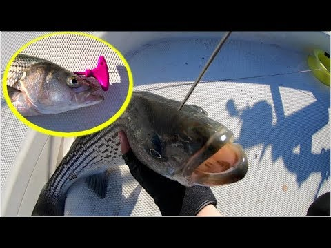 The Most Humane Way Of Killing A Fish. Ikejime (Ike Jime) On Striped Bass!