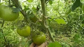 Томат с пасынками - отличный урожай!