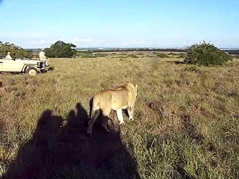 kichaka game drive with lions.MOV