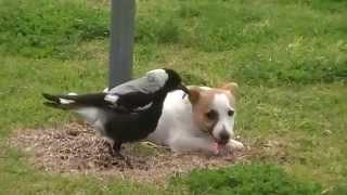 собака и сорока