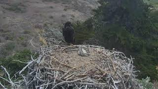 Sauces Bald Eagles - Channel Islands Cam 06-18-2018 11:09:17 - 12:09:18