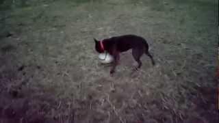 甲斐犬「さくら」のサッカーモドキです!