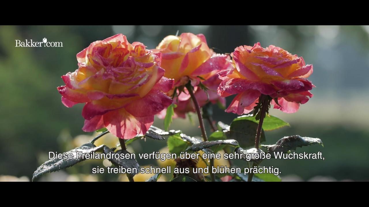 Blumen Der Liebe : rosen die blumen der liebe und sch nheit youtube ~ Orissabook.com Haus und Dekorationen