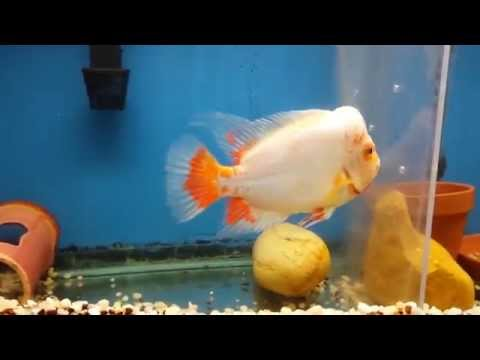 Peeled Midas Cichlids - Classify Or Not???