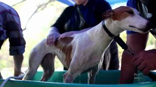 From Track to Couch: Tijuana Greyhounds Find New Lives North of the Border