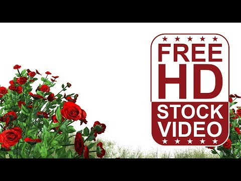FREE HD video backgrounds | 3D animated red roses and rough grass with wind effect