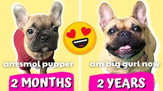 FRENCH BULLDOG PUPPY GROWING UP - 2 Months to 2 Years