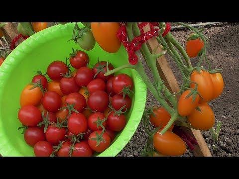 Вопрос: Как получить крупные плоды помидоров на грядке?