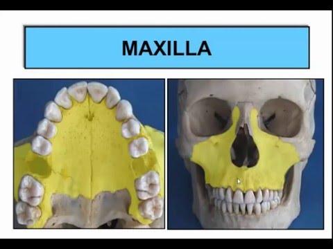 development of maxilla and mandible