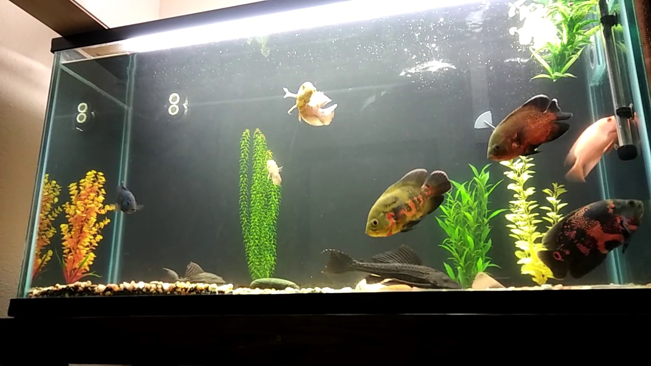 90 gallon oscar tank set up youtube for 90 gallon fish tank dimensions