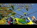 Suara Pikat Burung Ribut Paling Ampuh  Mp3 - Mp4 Download