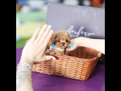 The best dog face! Red Poodle Toy Poodle Video