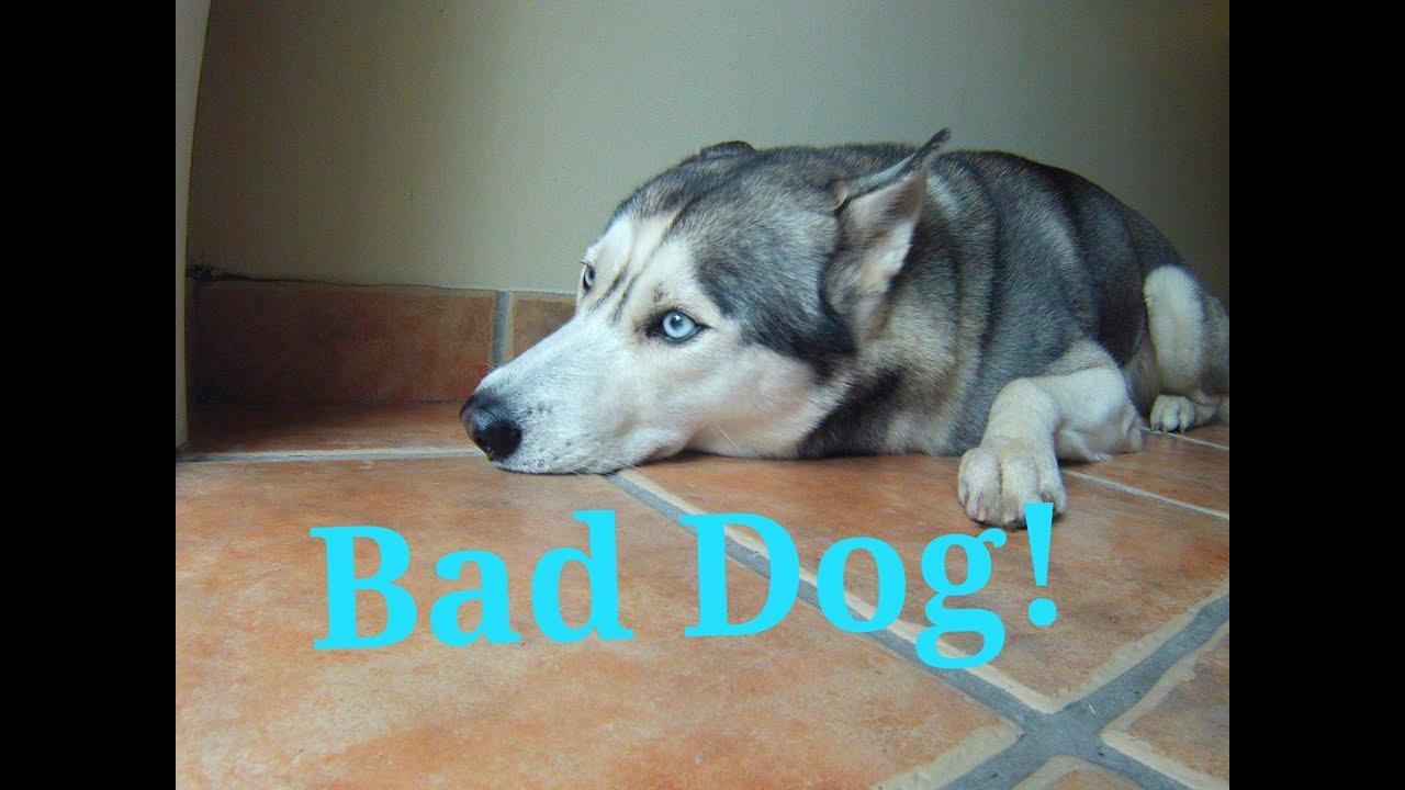 Guilty Husky! (Funny!)