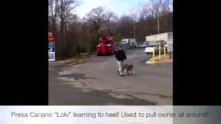 Presa Canario Learning To Heel! Dog Training, Virginia!