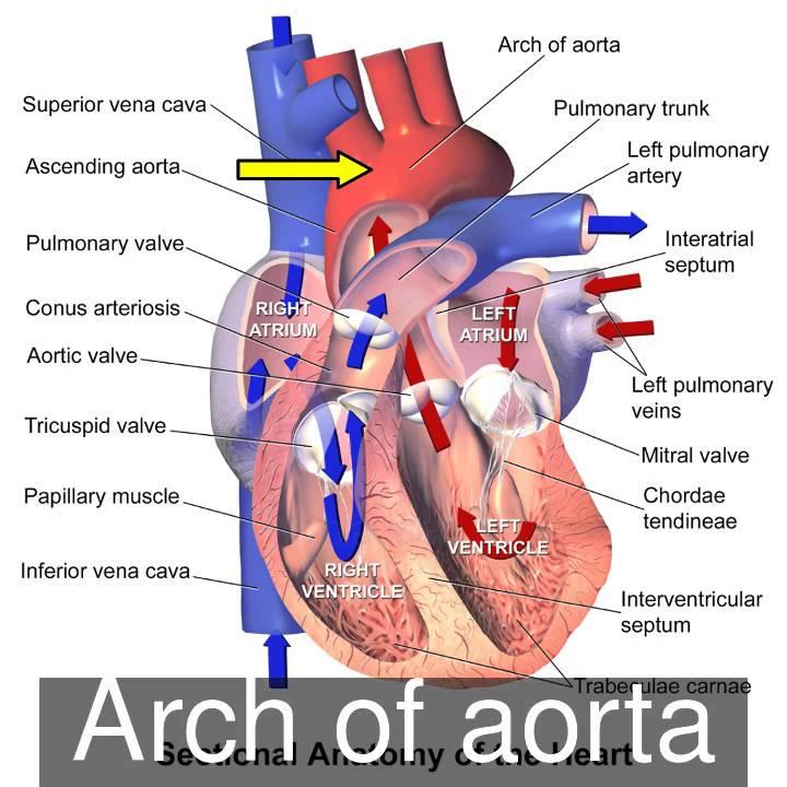 Heart Sectional Anatomy - YouTube