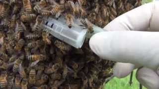 Honey Bee Swarm, how to recover a swarm and return the workers to the original hive