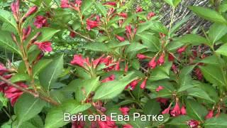 видео Многолетние цветы для дачи и сада цветущие все лето
