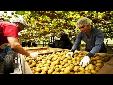 New Zealand Kiwi Harvesting Picking and Packing - Amazing agriculture Kiwi Farm 2018