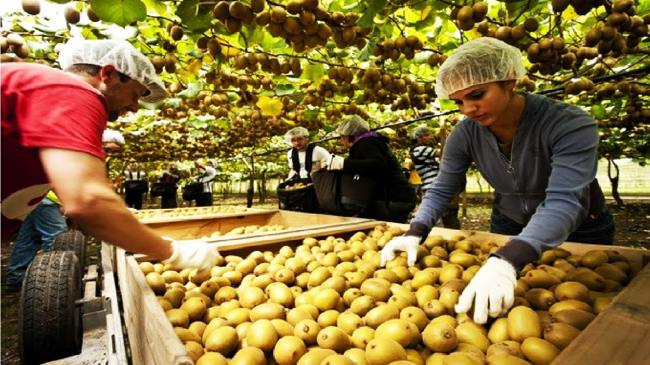 From Barren to Productive : the success of Kiwi farm in