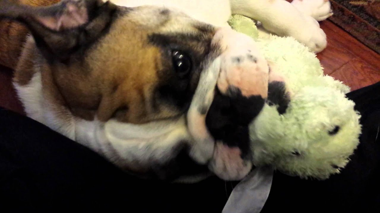 So Cute English Bulldog Puppy Playing With Stuffed Animal Youtube