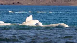 Discover the Beluga Whales at Arctic Watch