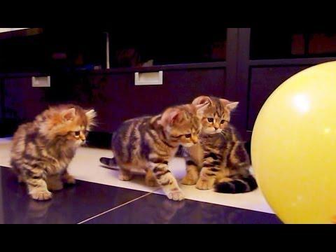 Cute Kittens  ,  Balloon   and  .... BANG