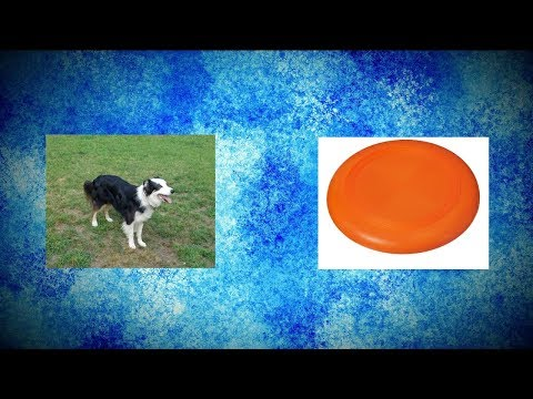 Australian Shepherd Makes Amazing Frisbee Catches